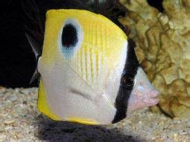 Teardrop butterflyfish | Exotics Fish | loricula flame ...