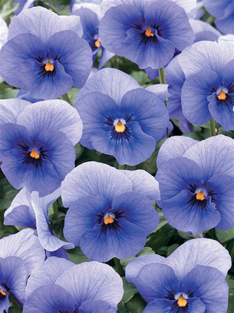 pansy  nature series american takii