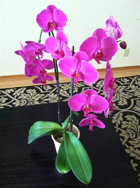 caring for phalaenopsis orchids after flowering 25 best ideas about phalaenopsis orchid on pinterest orchid flowers orchids and growing orchids