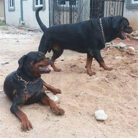 rottweiler pedigree puppiesboerboel pets nigeria