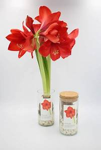 Amaryllis Im Glas : life in a bag amaryllis pflanze im glas avocadostore ~ Eleganceandgraceweddings.com Haus und Dekorationen