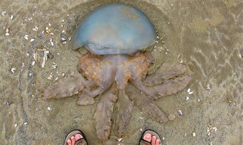 south west   uks jellyfish hotspot survey finds