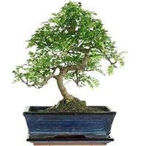bonsai arten indoor bonsa 239 d int 233 rieur bonsaischule wenddorf webshop