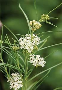 Homegrown Milkweeds