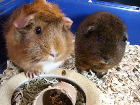 guinea pig names funny guinea pig names pet orb