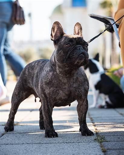 Bulldog French Dog Biting Breed Unsplash Raw