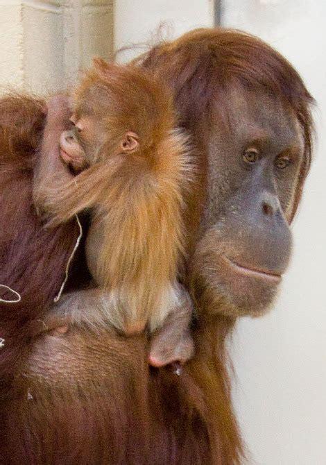 orangutan baby animals orangutans cute denver zoo mom monkeys sumatran mother utan palm oil orang rescues ailing monkey animal endangered