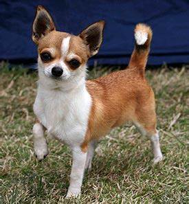 How Much Does A Long Hair Chihuahua Shed