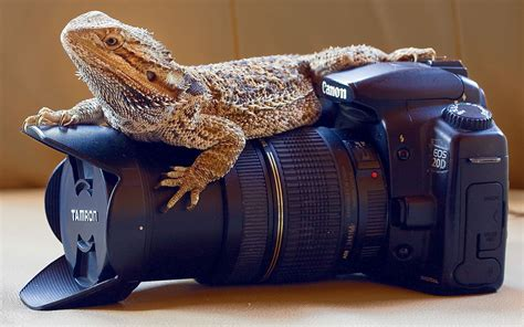 Bearded dragon lizards homescreen android phones dragons wallpapers red wallpaper backgrounds. Bearded Dragon Wallpaper ·① WallpaperTag