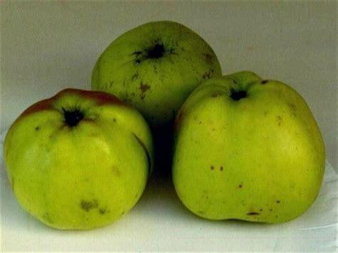 apfelgalerie alte apfelsorten von   aepfel