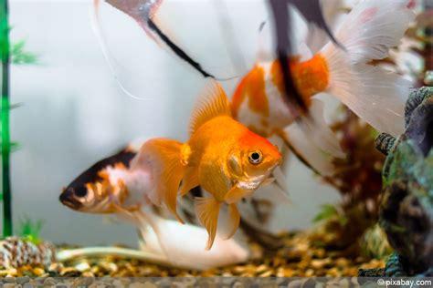 wie groß werden goldfische goldfische im teich halten f 252 ttern krankheiten und vermehrung hausgarten net