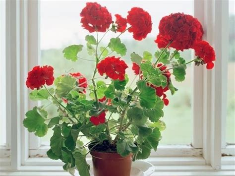 geranium indoors 17 best images about red geraniums for gramma scott on pinterest window boxes cottages and flags