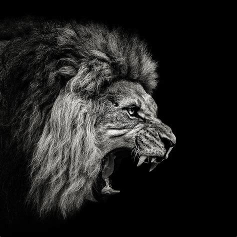 Roaring Lion 2 Photograph By Christian Meermann