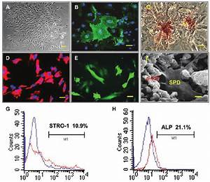 Characterization Of Stem Cells Derived From Miniature Pig