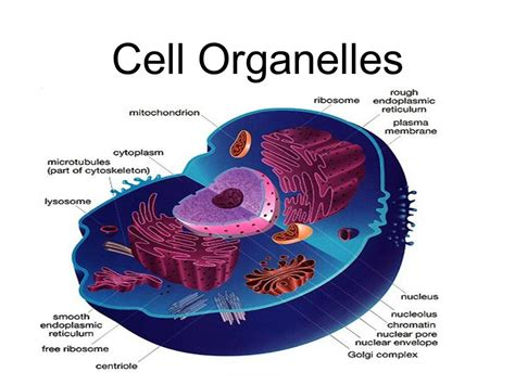 Cell Organelles  Ppt Video Online Download