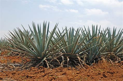 mexico plants tequila history tequila the essence of mexico a bit of history