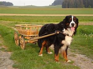 Bernese Mountain Dog Breed Guide - Learn about the Bernese ...