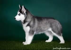 siberian husky7 jpg siberian husky breeds
