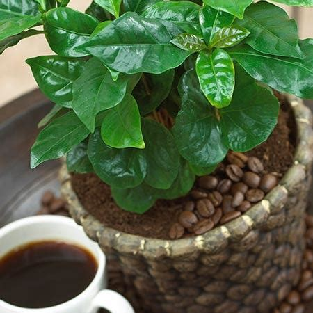 It is very easy to grow at indoor. USDA Organic Arabica Coffee Plants for Sale ...