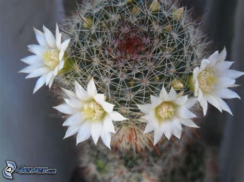 kaktus mit blüten kaktus