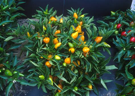 pictures of plant file compact orange pepper plants jpg wikipedia