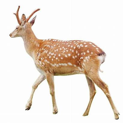 Deer Sika Musk Tailed Transparent Deers Pngio