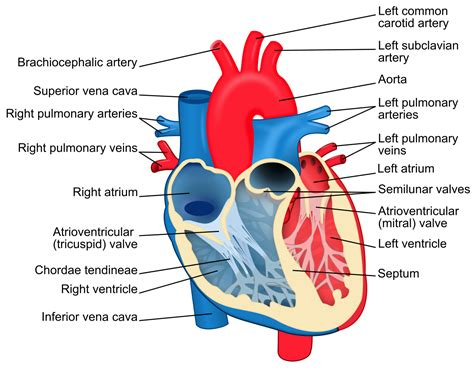 File Heart Diagram Svg Wikimedia Commons