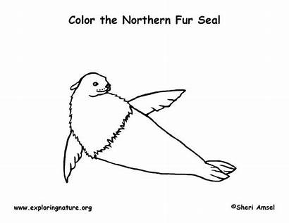 Coloring Fur Seal Northern Designlooter 5kb 612px