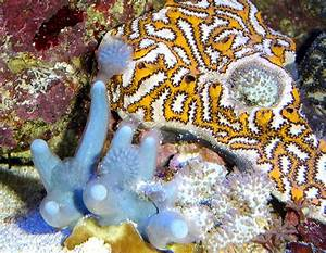 An Introduction to Tunicates - Reefs.com