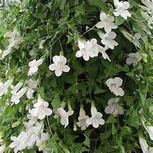 Climbing Snapdragon (Asarina Scandens WHITE) Perennial Vine. 10 SEEDS
