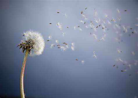 beautiful pictures  dandelion flowers