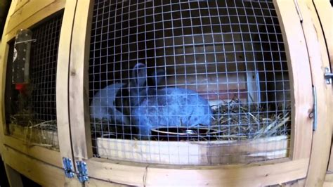 Kaninchen Decken Lassen, Im Zuchtstall Youtube