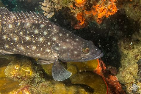 grouper whitespotted seaunseen photographs facts wild spotted