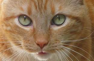 cat herpes 6 facts about feline herpes iheartcats all cats