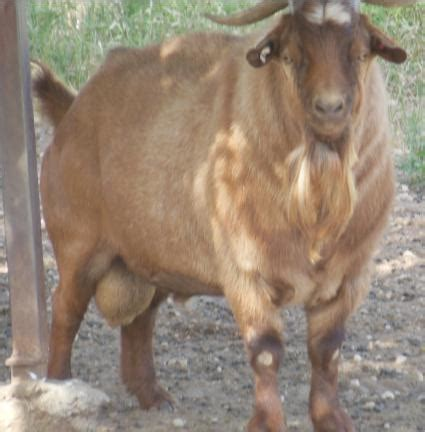 tennessee meat goats