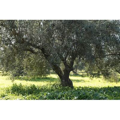 Newly planted olive groves Zaghouan Tunisia - Explore