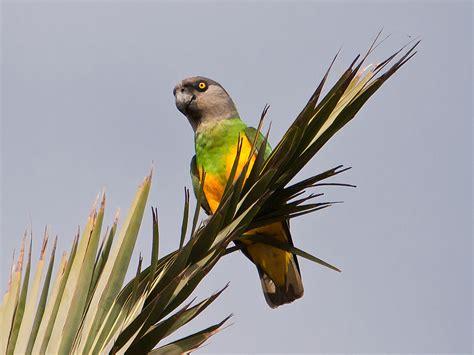 senegal parrot senegal parrot wikipedia