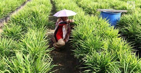 Kondisi fisik untuk mengetahui rimpang cara menanam jahe. Cara Menanam Jahe Merah di Lapangan atau di Pot - UNRANG
