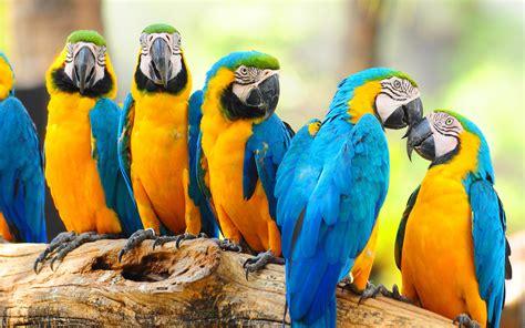 blue  yellow parrot hd wallpaper hd wallpapers