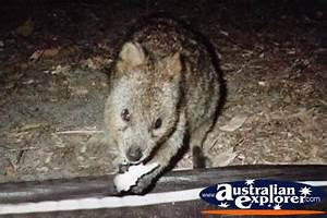 Electronic Day Planner Hungry Quokka Photograph Hungry Quokka Photo Pictures Of