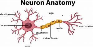 Diagram Of Neuron Anatomy Stock Illustration