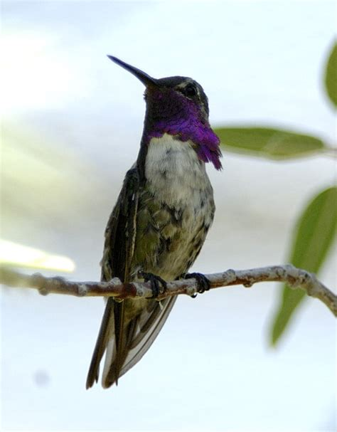 arizona hummingbird images and a few other birds