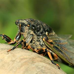 07 - Cicadas are the Barry White of the insect world ...