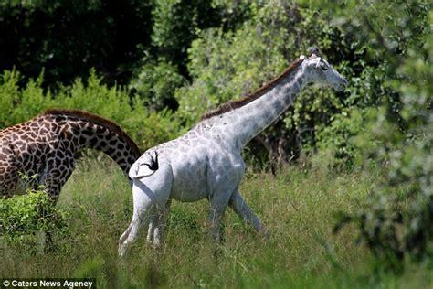 chambre la girafe la girafe blanche de tanzanie chambre237