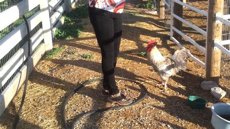 rooster attacks woman youtube