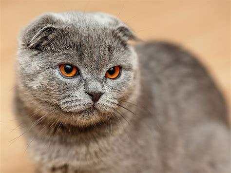 Shorthair Cat - shorthair cat breeds britannica