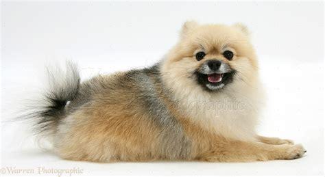 Pomeranian dog photo WP18883