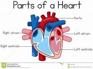 Simple Heart Diagram Human Heart Clipart
