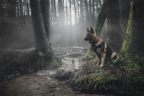 animals dog forest german shepherd moss wallpapers hd