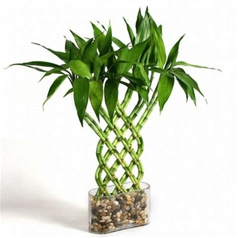 Lucky Bamboo Pflege by 25 Best Ideas About Lucky Bamboo Plants On